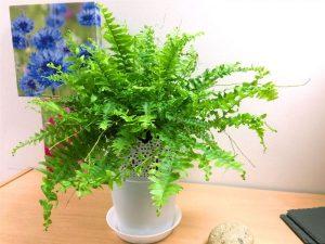 tanaman hias daun dolar