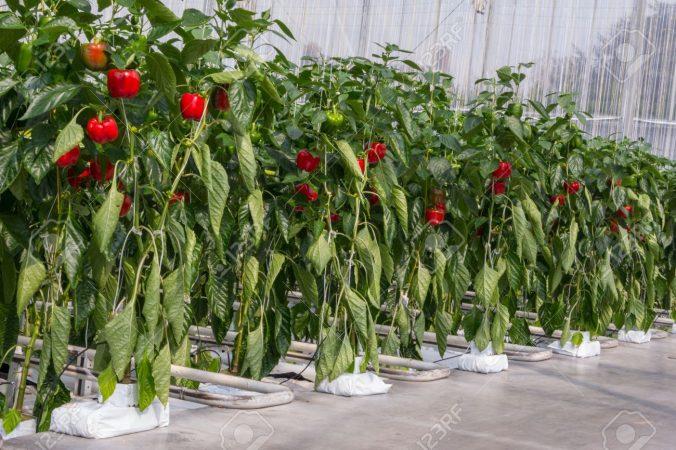 tanaman hidroponik Paprika