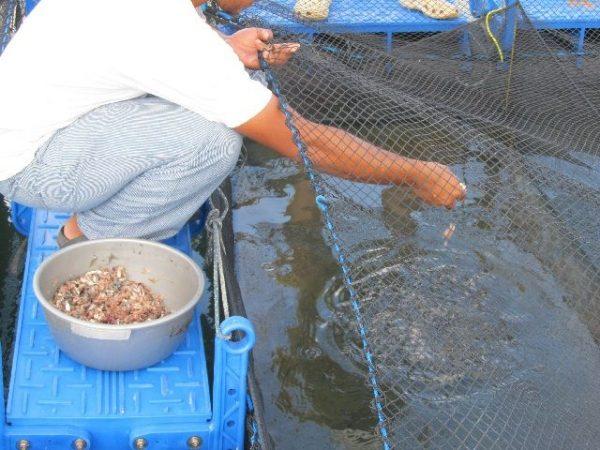 Inilah 11 Rahasia Budidaya Ikan Bawal Agar Cepat Besar Dan Panen