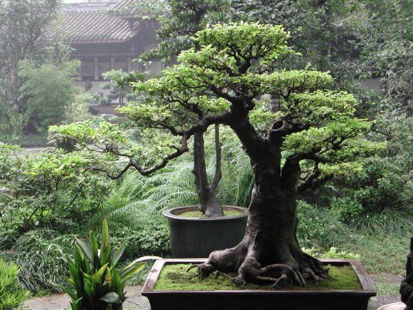 Bonsai Baobab