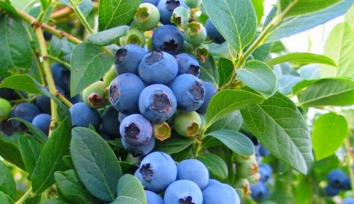 tanaman hidroponik Blueberry