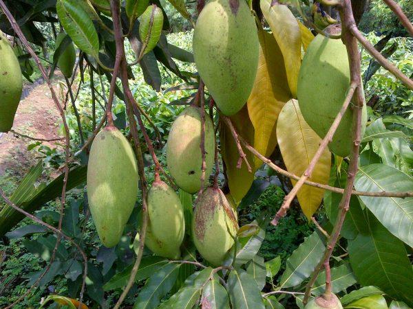 Mangga Golek India