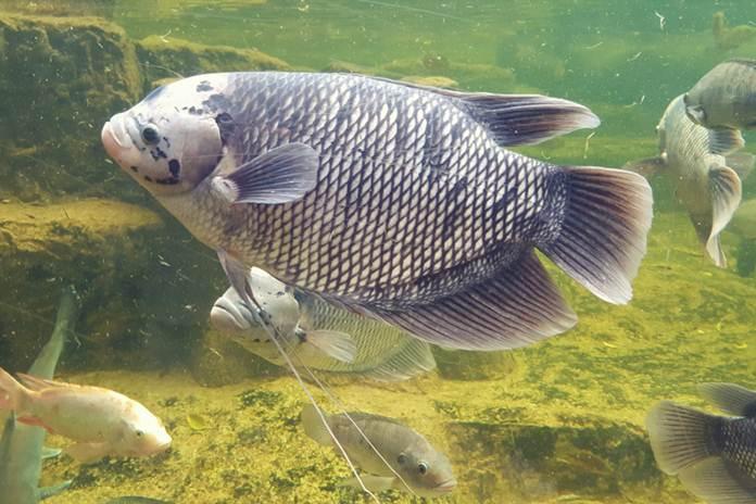 Rahasia Budidaya Ikan Gurame Agar Cepat Besar Dan Panen