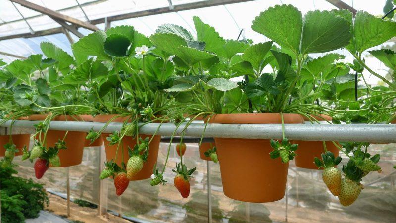 tanaman hidroponik strowberry