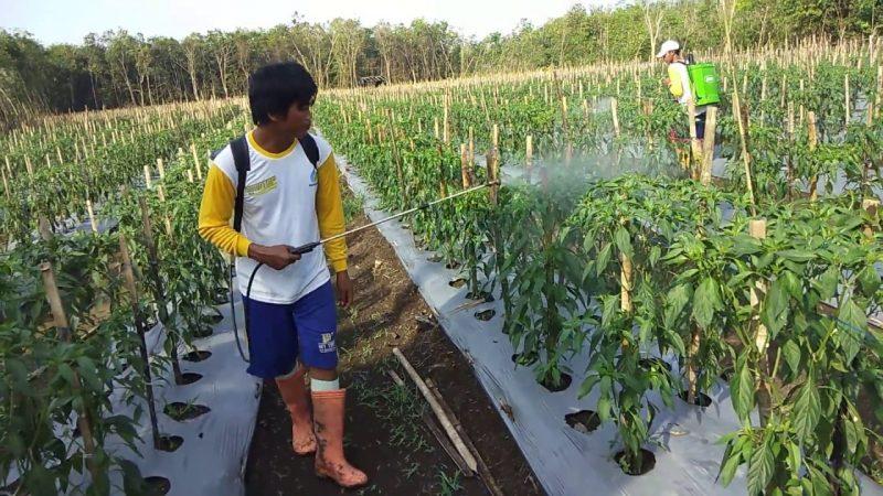 Cara penyemprotan pupuk daun bayfolan dan fungisida antracol untuk pencegahan serangan jamur antraknosa, virus bule, daun kuning pada tanaman cabai