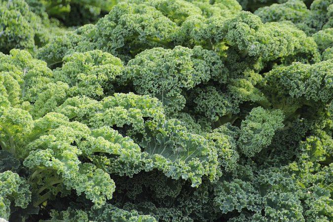 tanaman hidroponik kale