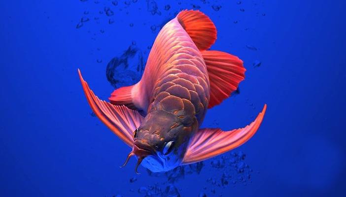 ternak ikan arwana