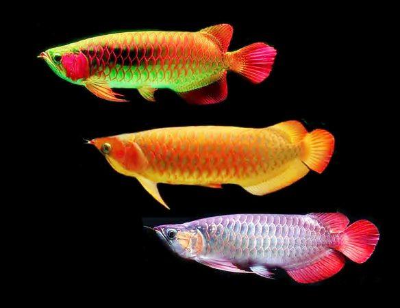 Budidaya Ikan Arwana