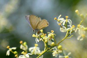 bunga pengusir nyamuk