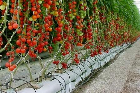 Cara menanam tomat hidroponik akan memudahkan Anda dalam mendapatkan buah tomat yang berkualitas hasil sendiri.