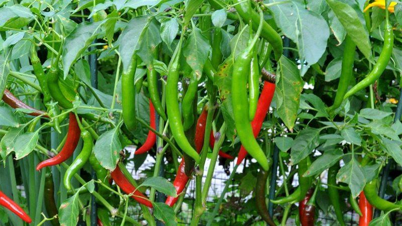 tanaman cabai merah
