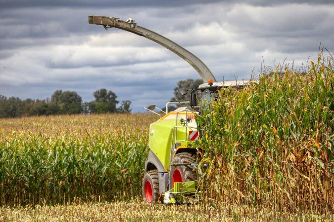 pemberian pupuk tanaman jagung