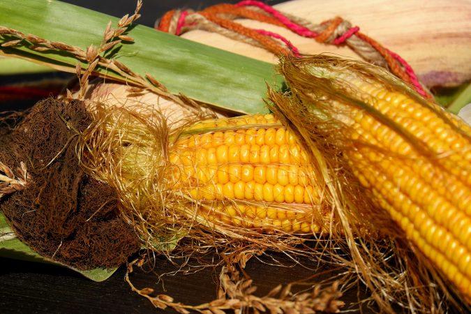 tahap pengairan tanaman jagung
