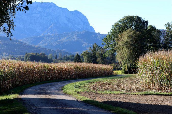 jarak penanaman tanaman jagung