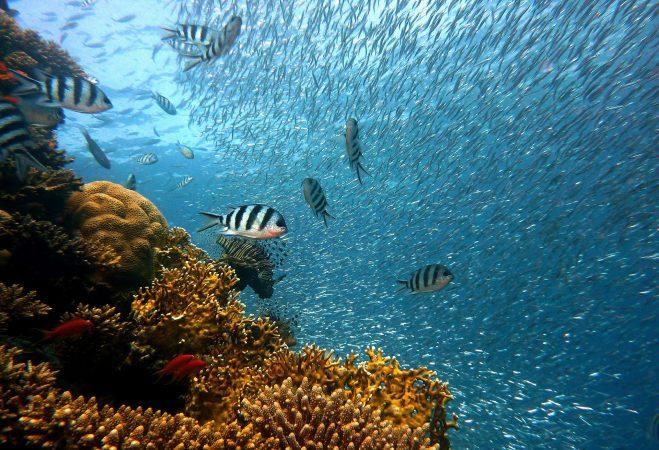 cara ternak ikan betok di aquarium