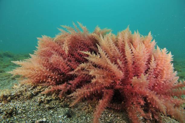 Alga Merah (Rhodophyta)