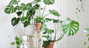 tanaman hias daun gajah