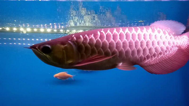 budidaya ikan arwana di akuarium
