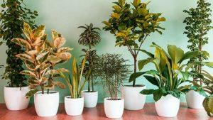 tanaman hias daun calathea