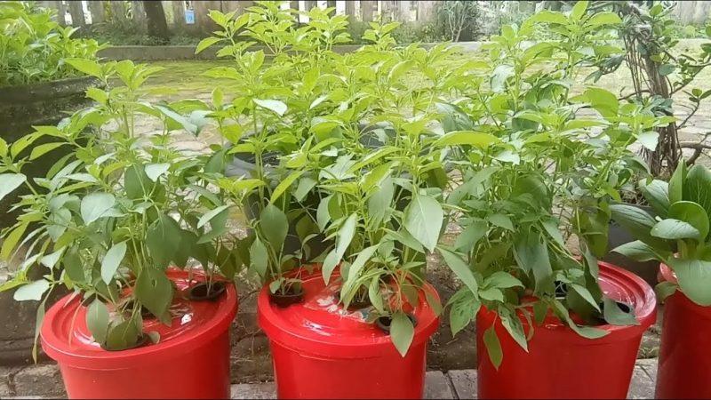 tanaman hidroponik kemangi