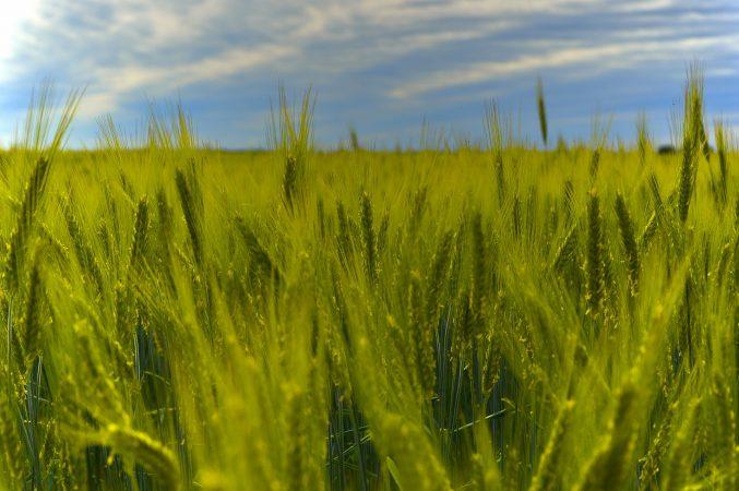 penendalian gulma tanaman jagung