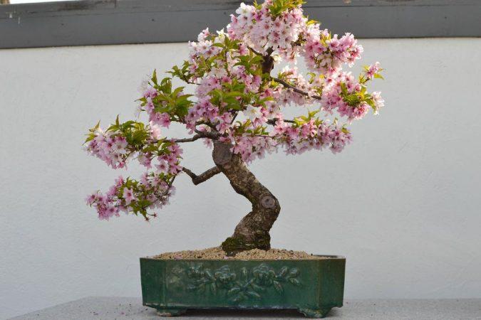 Bonsai Sakura