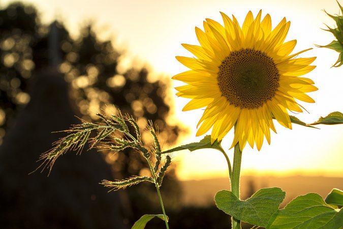 benih bunga matahari