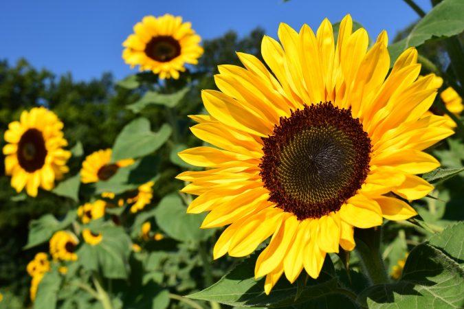 3 Cara Menanam Bunga Matahari Yang Paling Mudah