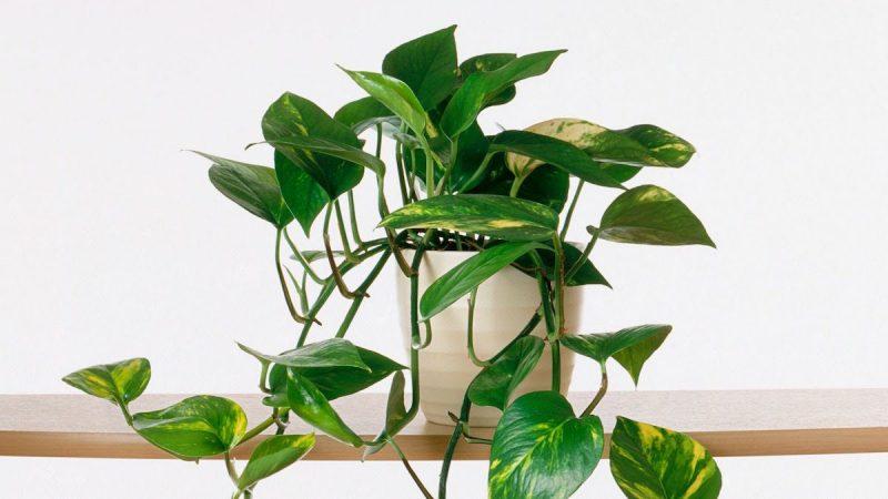 tanaman hias daun indor