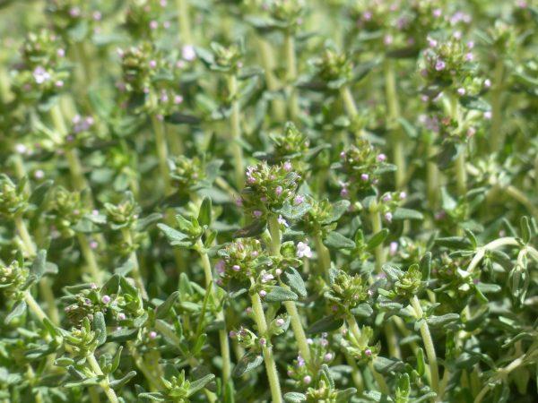 bunga thyme