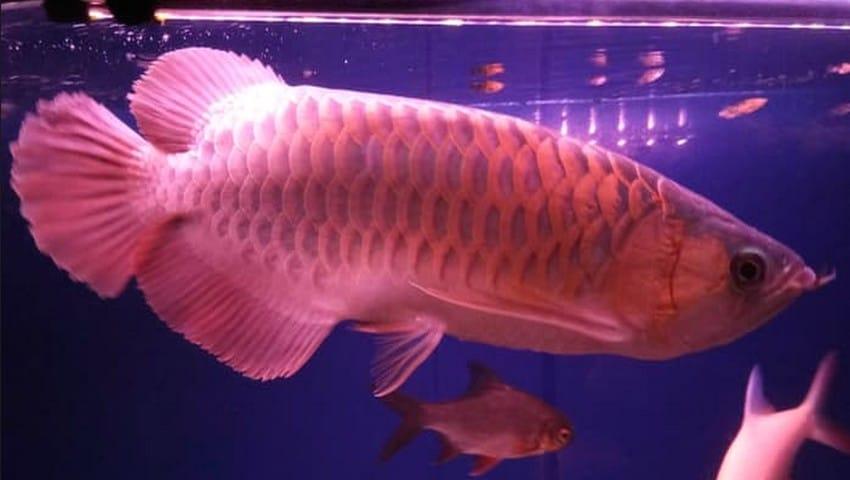 budidaya ikan arwana silver