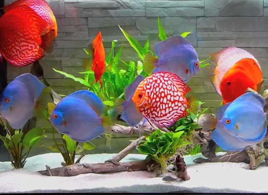 jenis ikan discus yang paling bagus