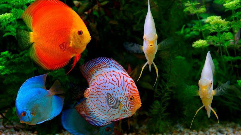 jenis ikan discus terbaik