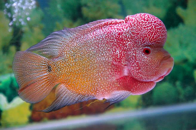 cara budidaya ikan louhan di kolam terpal