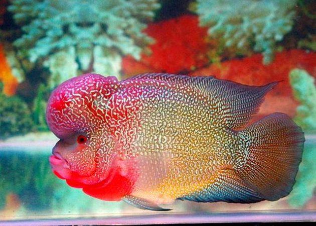 cara budidaya ikan louhan di akuarium