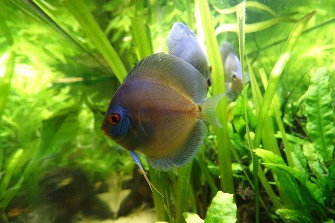 jenis ikan discus paling bagus