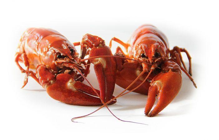 cara budidaya lobster mutiara