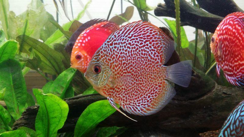 jenis ikan discus red melon