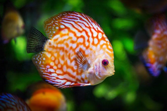 jenis ikan discus dan gambarnya