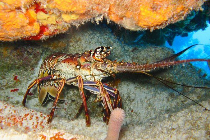 cara budidaya lobster air laut