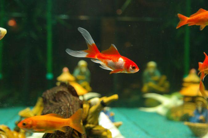 budidaya ikan komet di aquarium