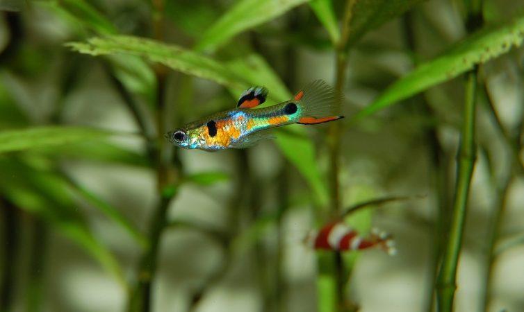 Tips Cara Budidaya Ikan Guppy Agar Cepat Besar dan Panen