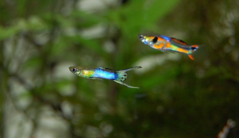 ikan paling kecil untuk aquascape
