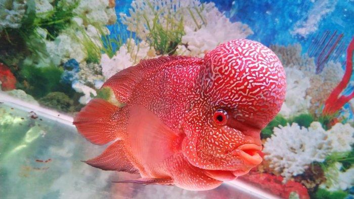 cara memelihara ikan louhan bagi pemula