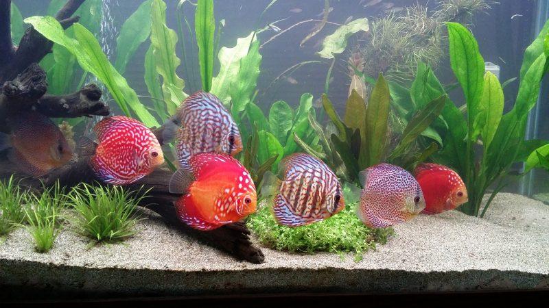 ikan discus sun merah
