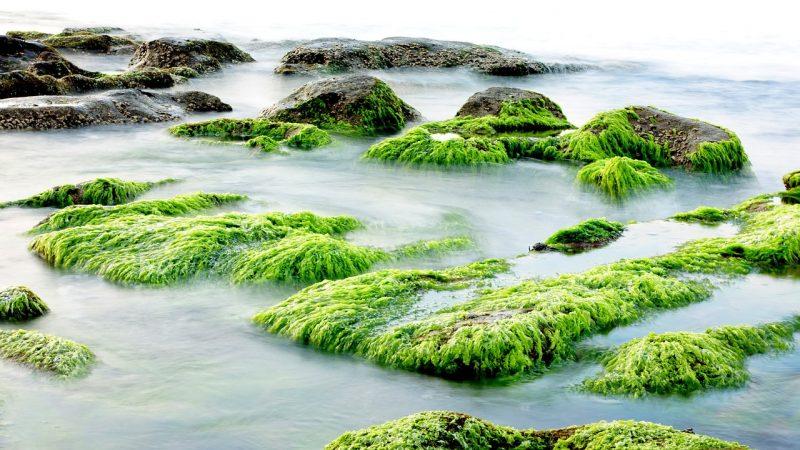 cara budidaya rumput laut