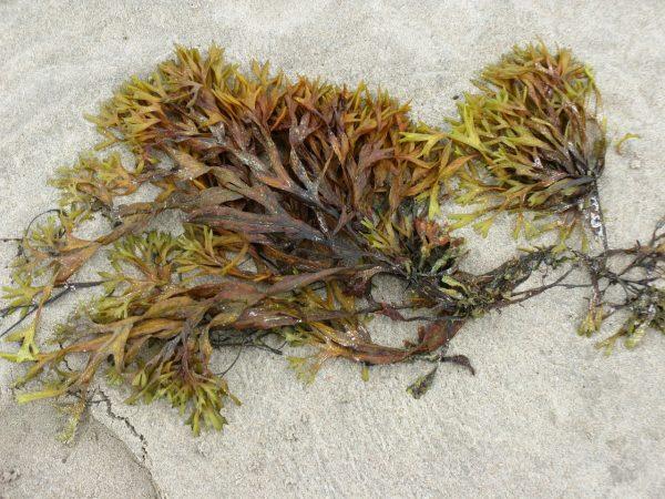 cara budidaya rumput laut di laut