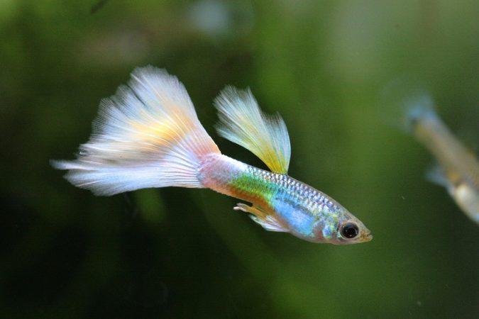 ikan paling kecil di indonesia