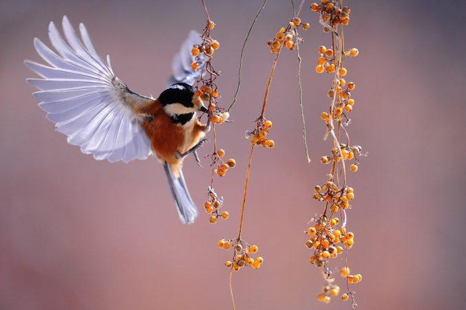 beternak burung walet