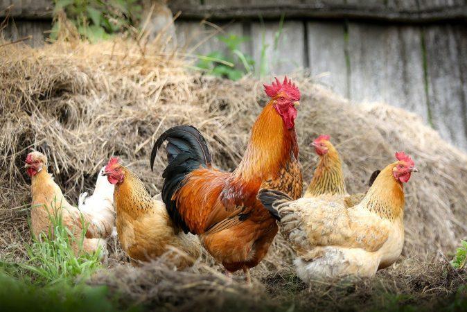 cara budidaya ayam